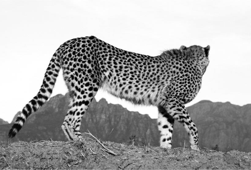A safe sanctuary tour where cheetahs can be discovered.