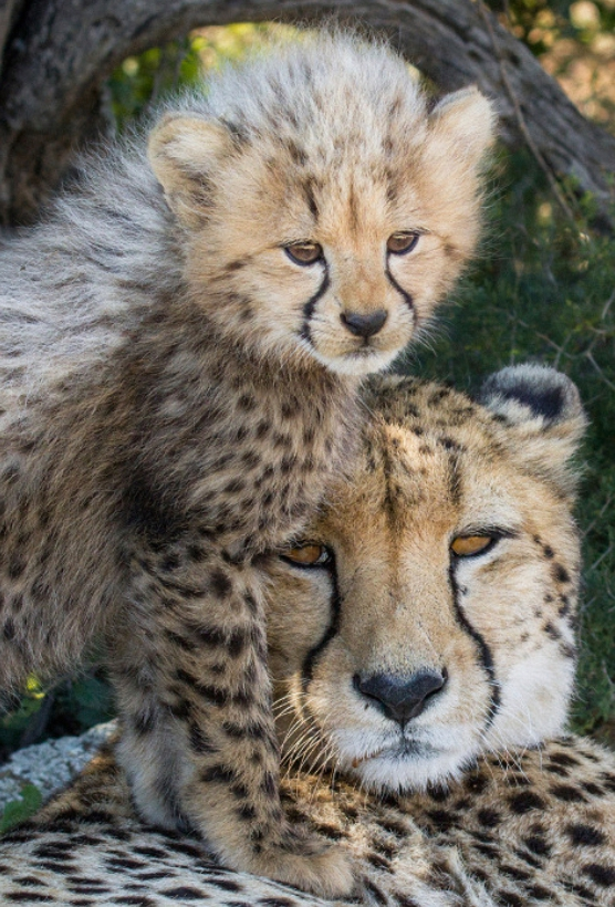 A mother cheetah safely conserved with her new born cub.