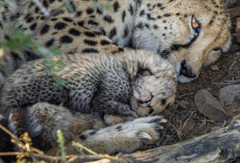 Mother cheetah resting with her cubs in the shade.