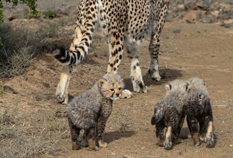Mother cheetah walking with her 3 cubs on the trail.