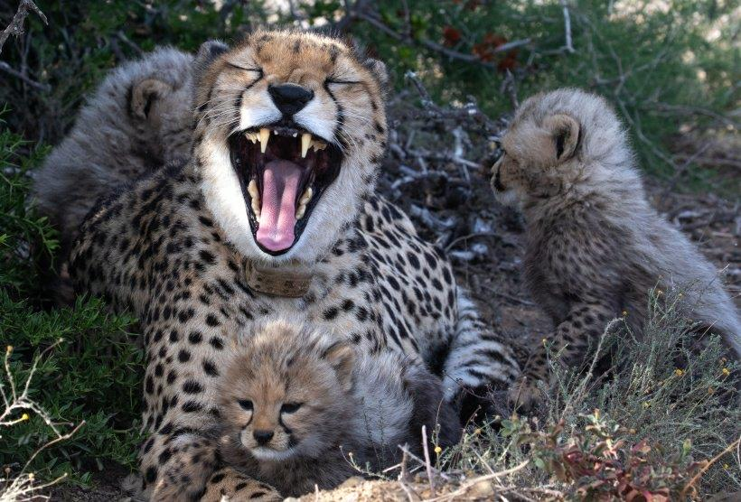 Mother cheetah with wild born offspring, adopt and donate cubs.