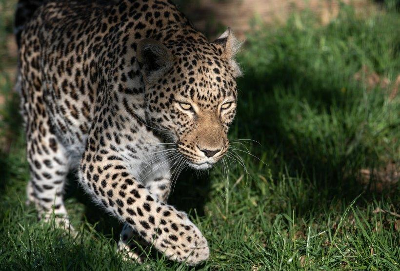 Missy, The Leopard from Ashia Sanctuary. Adopt and donate.
