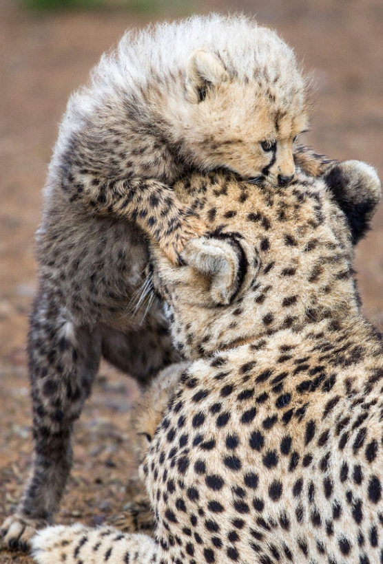 The playful, new descendants found at Asia Cheetah Conservation.