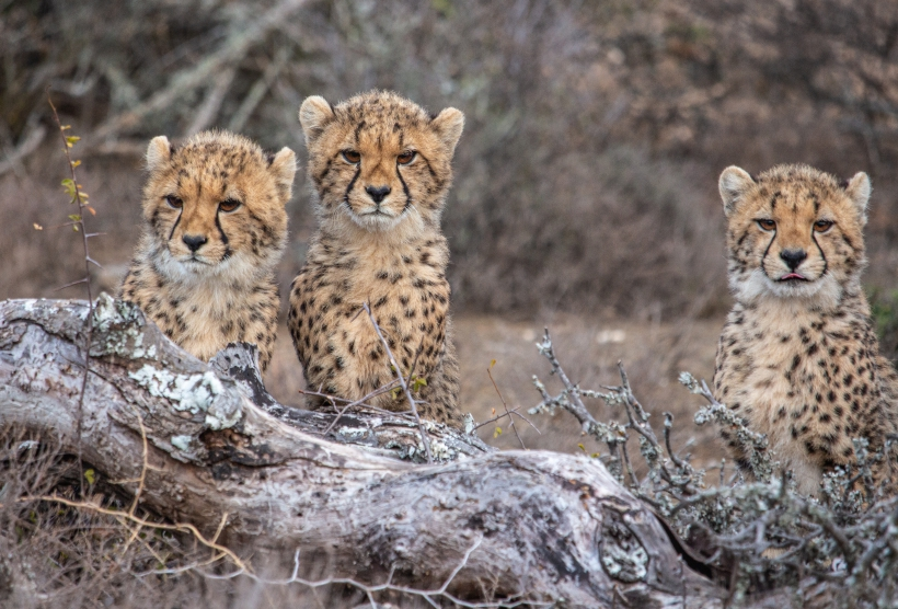 Adopt & Donate - Wild Cheetah Cubs With Huge Personailities