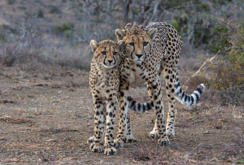 Mother cheetah with cub at safe conservation