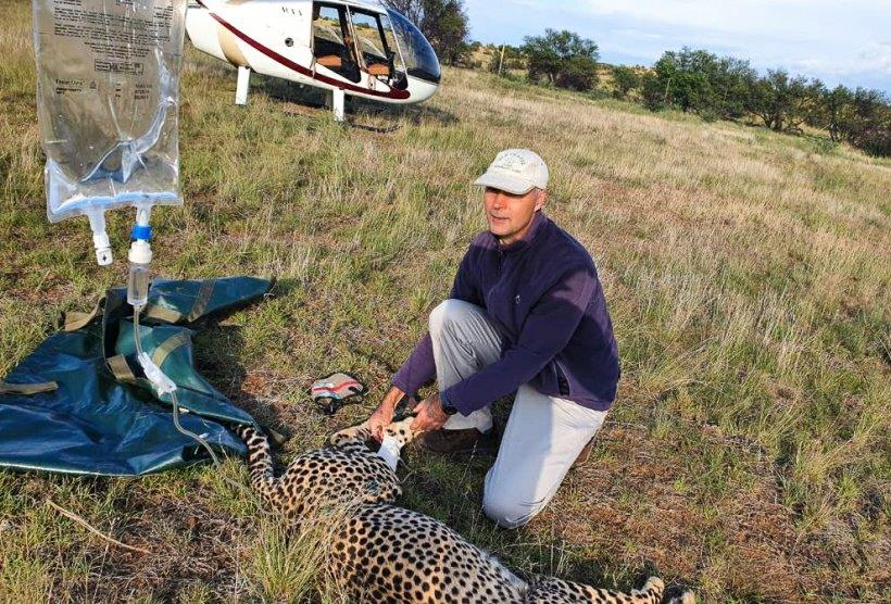 Cheetah released at Tiger Canyon, Free State.