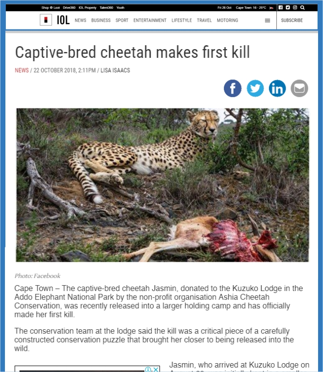 Ashia Cheetah Conservation_IOL Captive Bred Cheetah makes first Kill_22 Oct 2018