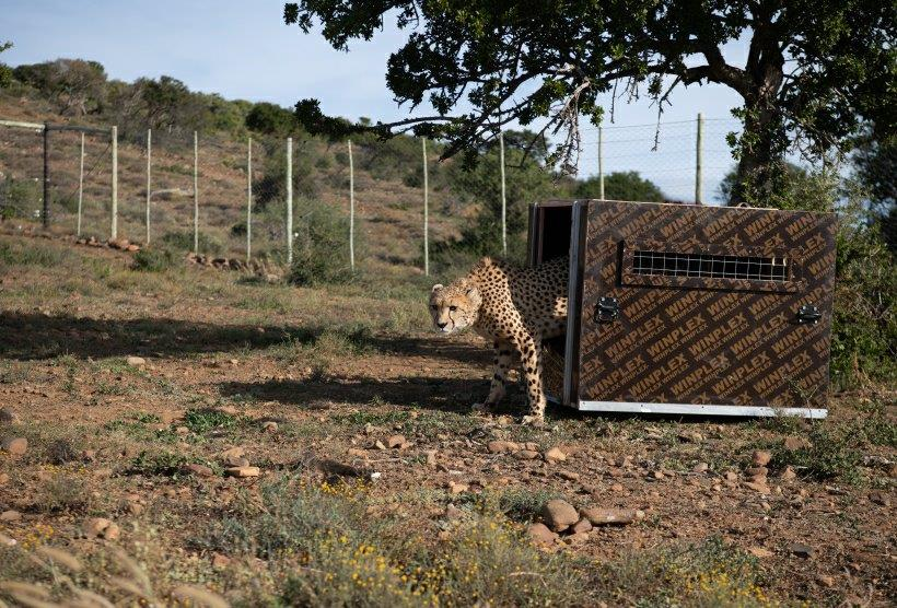 Ava, the cheetah arriving at Kuzuko, Addo.