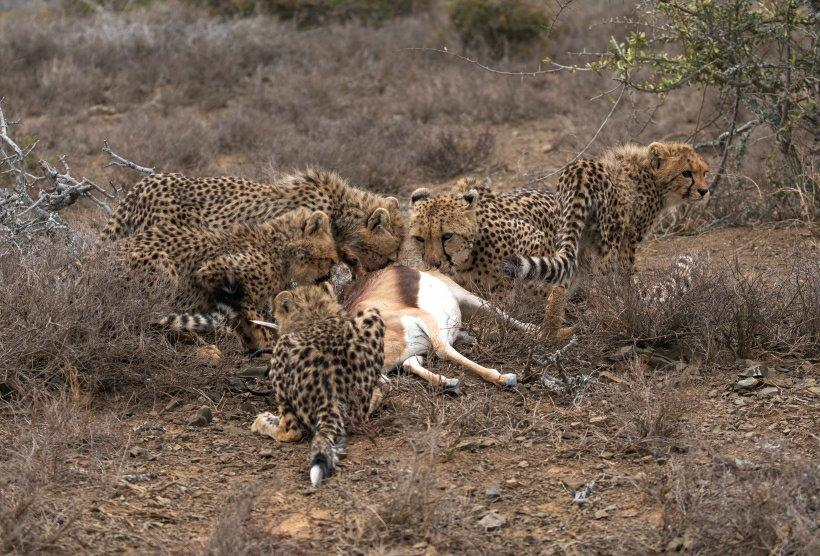 Female cheetah with cubs on kill.