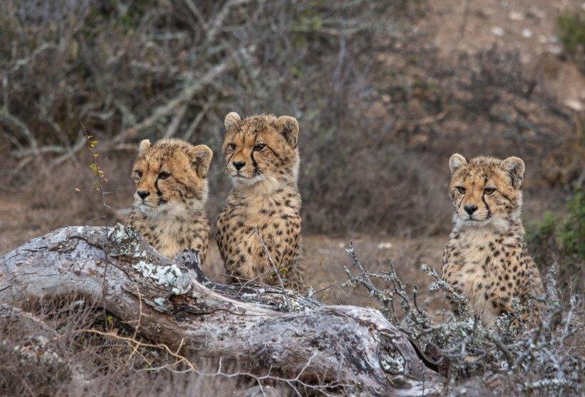 Cubs born at Kuzuko, Addo.