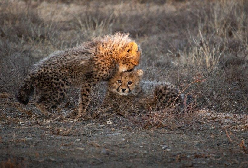Cheetah sibling love at Cheetah Ashia Conservation.