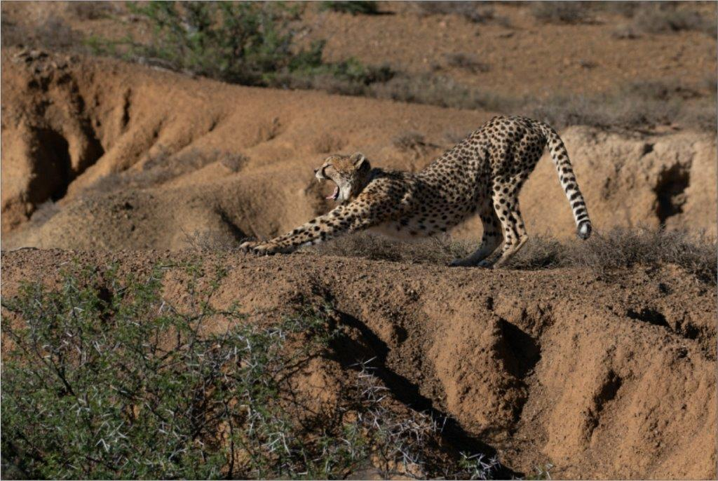 A stretched cheetah located inside the protected wild.