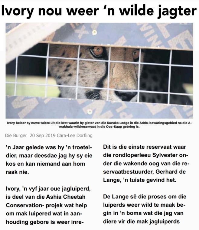 Afrikaan-News-Article-Ashia-Cheetah-Wilding