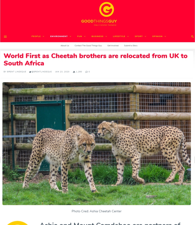 Good-Thing-Guy-World-First-as-Cheetah-brothers-are-relocated-from-UK-to-South-Africa-23-Jan-2020