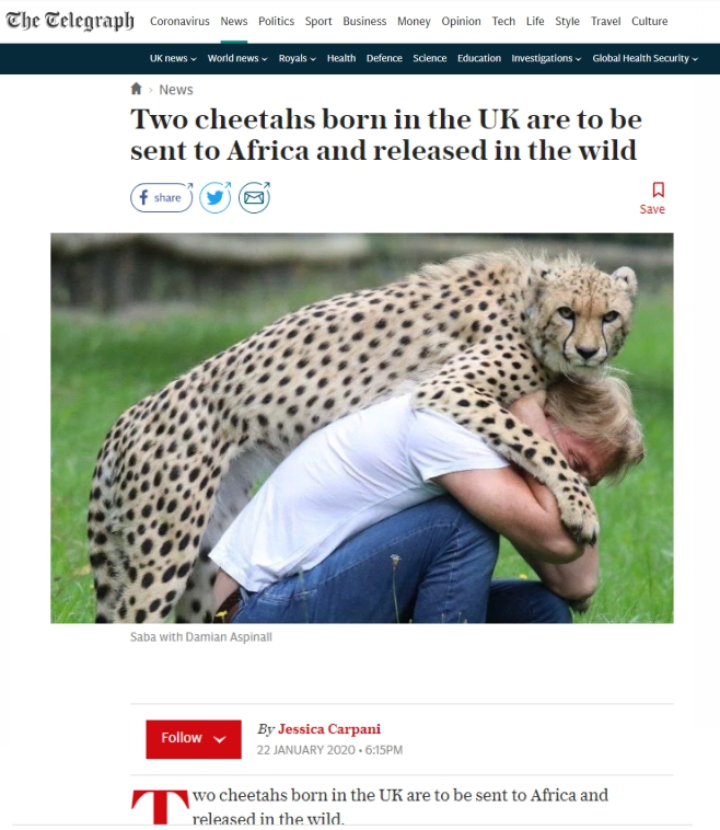 The-Telegraph-Cheetah-Brothers-in-UK-being-relocated-to-SA-22-Jan-2020